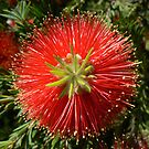 Callistemon Rocky Rambler by Graeme  Hyde