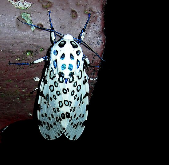 Giant Leopard Moth by Carmen Holly