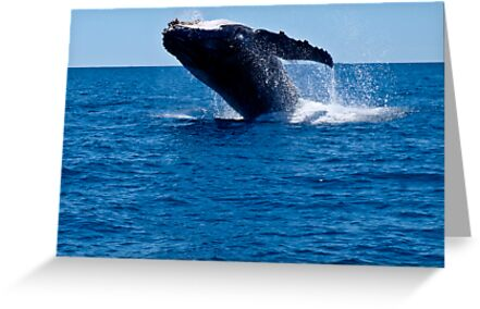 Humpback Whale by Sheldon Pettit