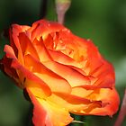 Roses by Chappy