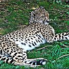 """""""Cheetahs"""" these are now on the Endangered list. by mrcoradour"""