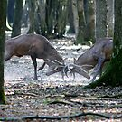 Red deers fighting by Yves Roumazeilles