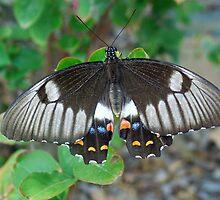 Australian Butterfly by Janette Rodgers