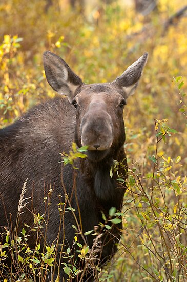 Moose Calf by Gary Lengyel