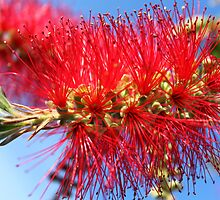 Australian Bottle Brush by aussiebob