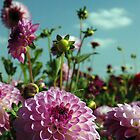 Pink Dahlias by suz01