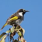 White-cheeked Honeyeater by Tina Dial