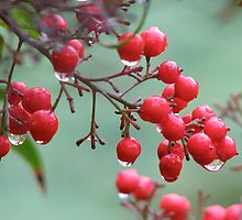 Red Berries II by snefne