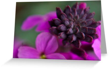 Wall Flower Seeds. by Trevor Kersley
