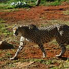 Cheetah Acinonyx jubatus by Keith Richardson