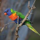 Rainbow Lorikeet by Tina Dial