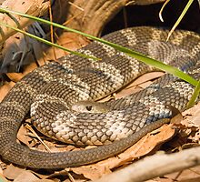 Eastern Tiger Snake, Queensland, Australia by Adrian Paul