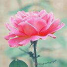 Think Pink Rose by Maria Medeiros