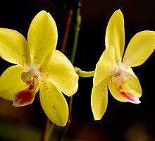 orchid by AravindTeki
