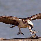 Osprey by DUNCAN DAVIE