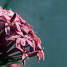 Ixora bloom by aelyn