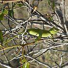 'Who, me?' Chameleon, Ranohira National Park Madagascar by rinajoy