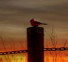 Cardinal at Sunset by Larry Trupp