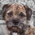 """BLUE"" - Border Terrier by Chris Clark"