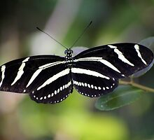 Zebra Butterfly by Kenneth Albin