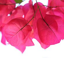 Bougainvillea Bracts by ElyseFradkin
