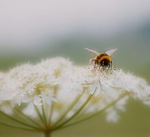 Bee on Cow Parsley by Stan Owen