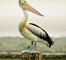 Pelican Poise by Holly Kempe