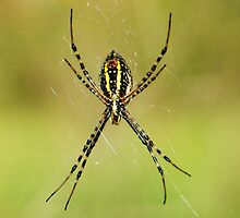 Argiope Spider by Kevin Price