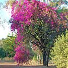 Bouganvillea, Katherine, Northern Territory, Australia by Adrian Paul