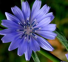 Chicory Flower by Tanya Keefe