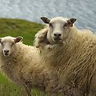 Icelandic sheep by Peter Zentjens
