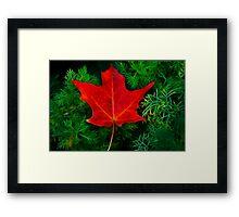 A Fallen Maple Leaf Framed Print