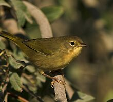 Common Yellowthroat (Female) by Wayne Wood