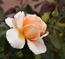 Peach Rose by ElyseFradkin