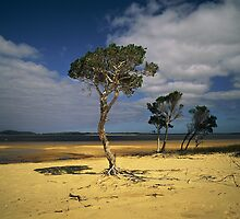 Broke Inlet Trees by nadine henley