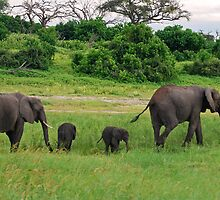 Elephant Family - Chobe National Park, Botswana, AFRICA by Paul Stewart