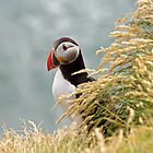 Peek-a-Puffin by Peter Zentjens