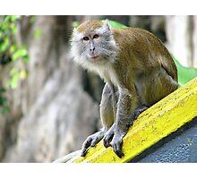 Macaque monkey Photographic Print