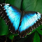 Azure Wings by Dawn B Davies-McIninch