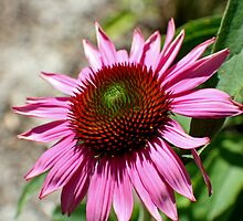 Echinacea in the Sun by Donna R. Carter