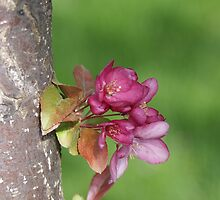 Crabapple Blossom by Colin Harper by Mike Oxley