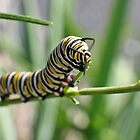 Monarch Caterpillar - 18 by Donna R. Carter