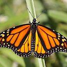 Monarch Delight by Gregg Williams