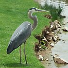 Blue Heron by Sue Hays