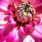 Dahlia Explosion by Orla Cahill Photography