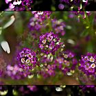 Purple Alyssum #2 by Deborah McGrath