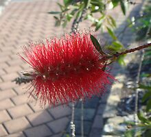 Bottle brush by Cheryl J Newman