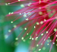 bottlebrush by lorelle