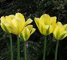 Yellow Tulips by George Cousins