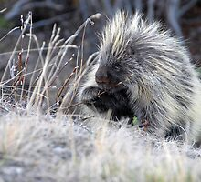 Mr. Porcupine by Dyle Warren